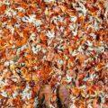 Anwendungen von Herbstlaum im Gemüsegarten