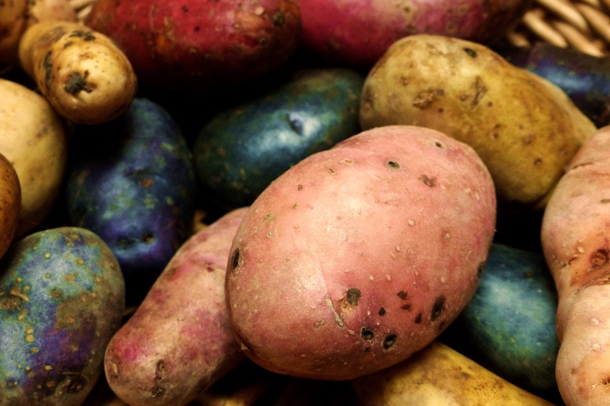Kartoffelsorten-Garten