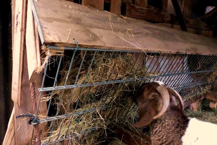 Ziegen-halten-Raufe-selberbauen