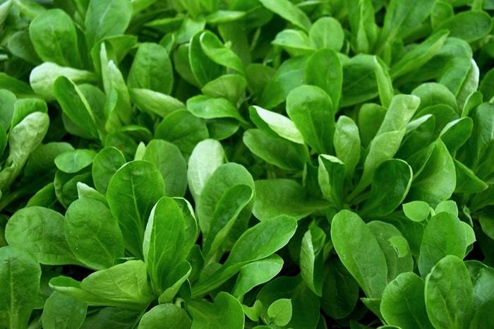 Keine Jungpflanzenanzucht bei Salat
