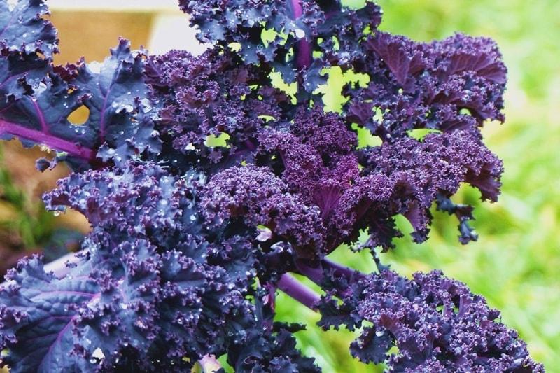 Gemüse, das auch im Schatten gedeiht