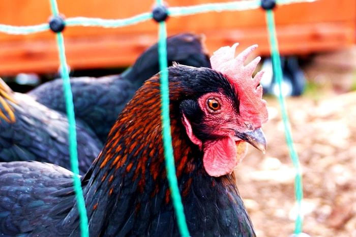 Hühner halten für Anfänger: Elektrozaun Geflügelnetz