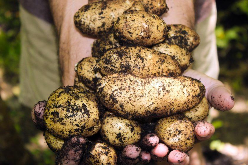 Selbstversorgung mit Kartoffeln