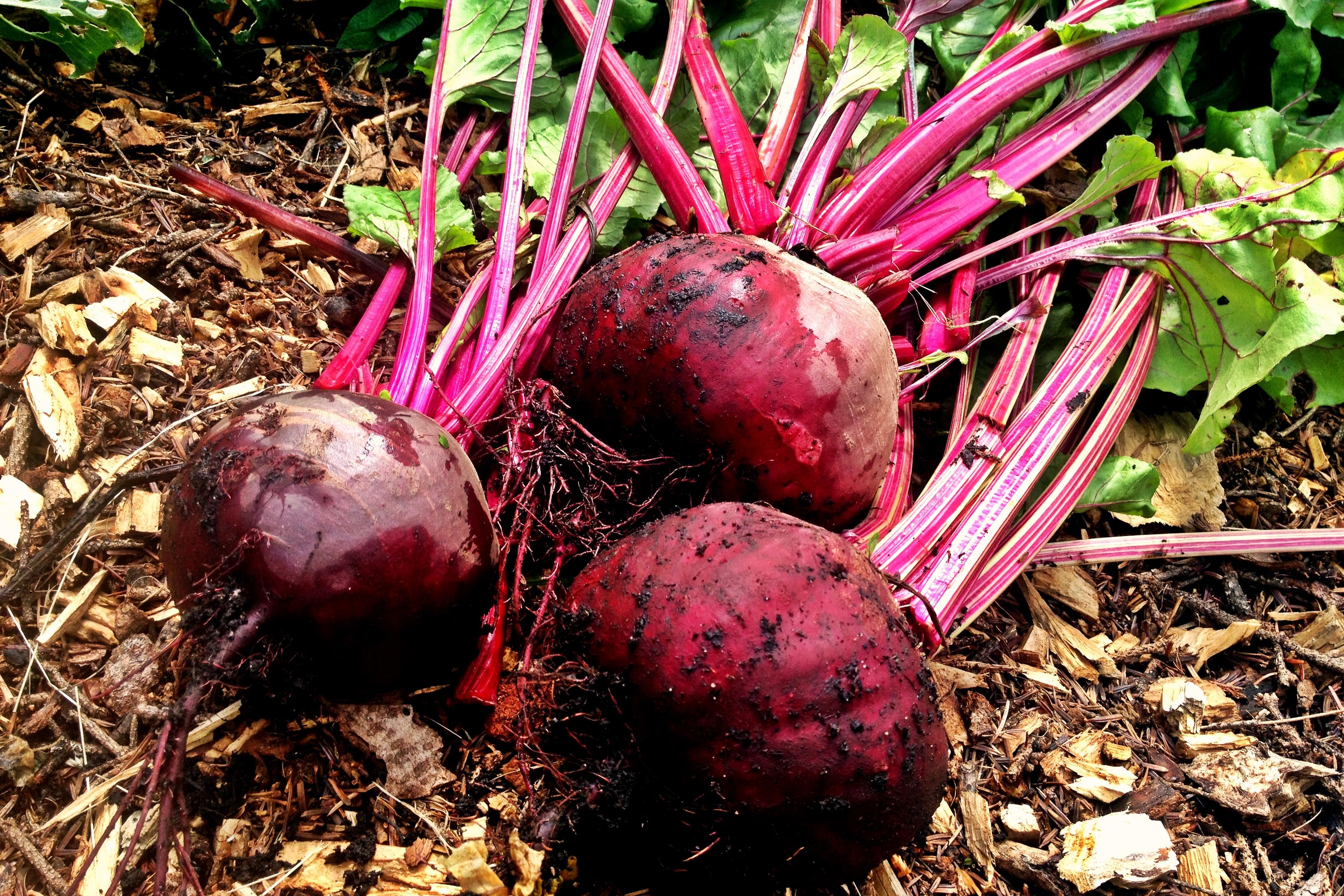 Gemüse fermentieren Rote Bete