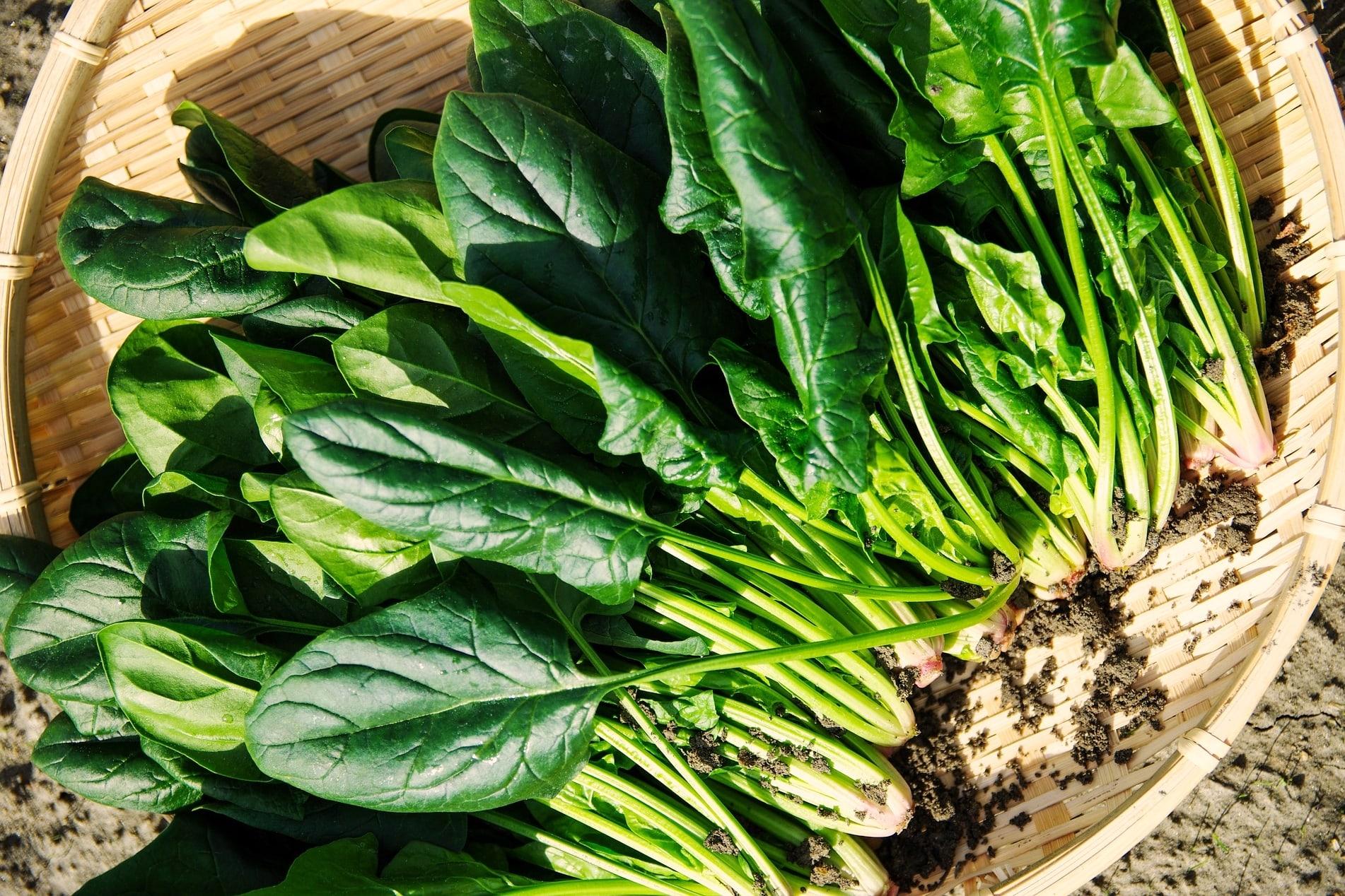 Jungpflanzenanzucht Gemüse Spinat
