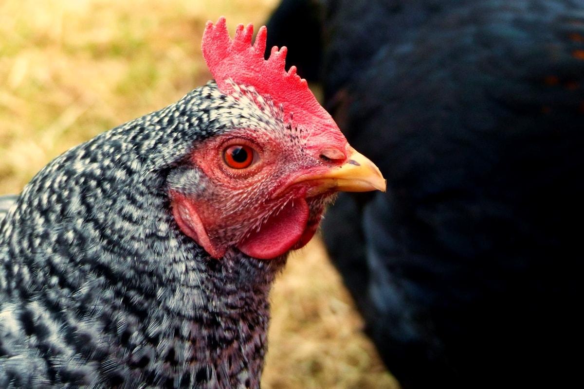Hühner halten für Anfänger: Hühner im Garten