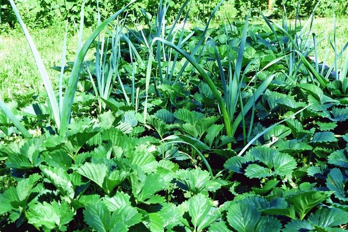 Gemüsegarten für Anfänger: Mischkultur