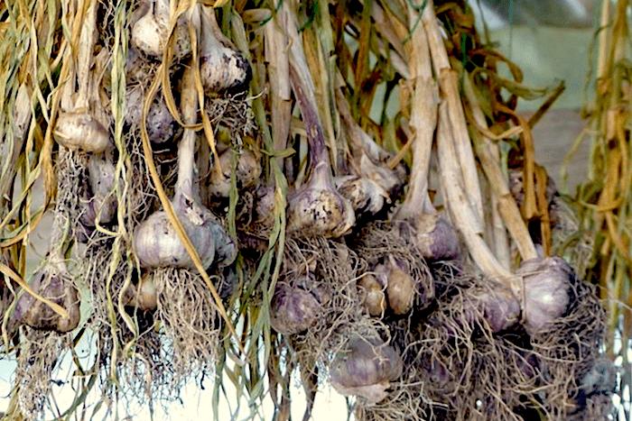 Knoblauch pflanzen und trocknen