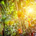 Gemüsegarten für Anfänger