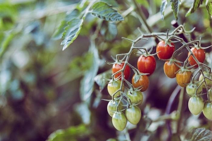 Gemüsegarten für Anfänger Tomaten