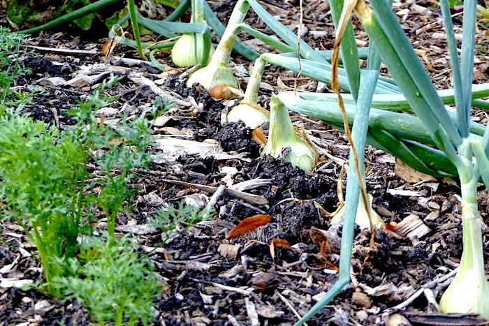 Welche Pflanzen vertragen sich? Möhren und Zwiebeln!