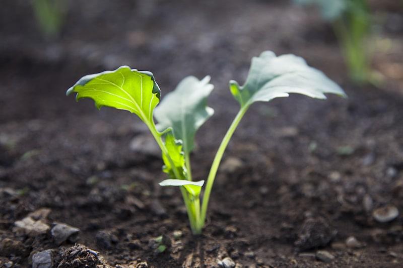 Kohlrabi pflanzen
