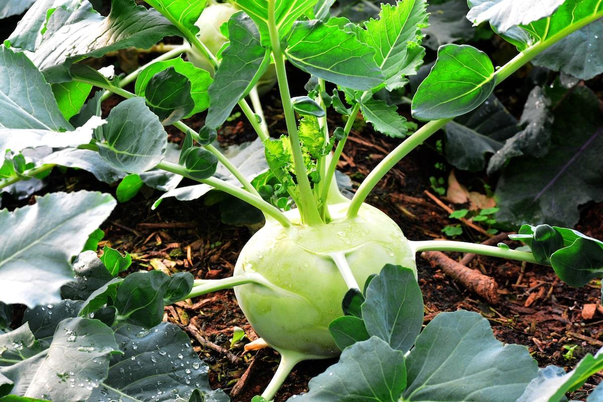 Kohlrabi pflanzen und anbauen