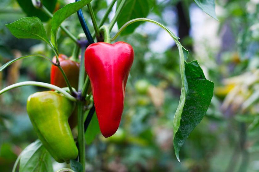 Paprika pflanzen und anbauen