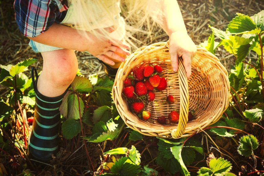 Erdbeeren pflanzen, anbauen und ernten