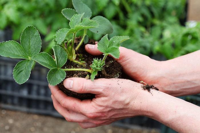 Erdbeer-Pflanzen vermehren über Ableger