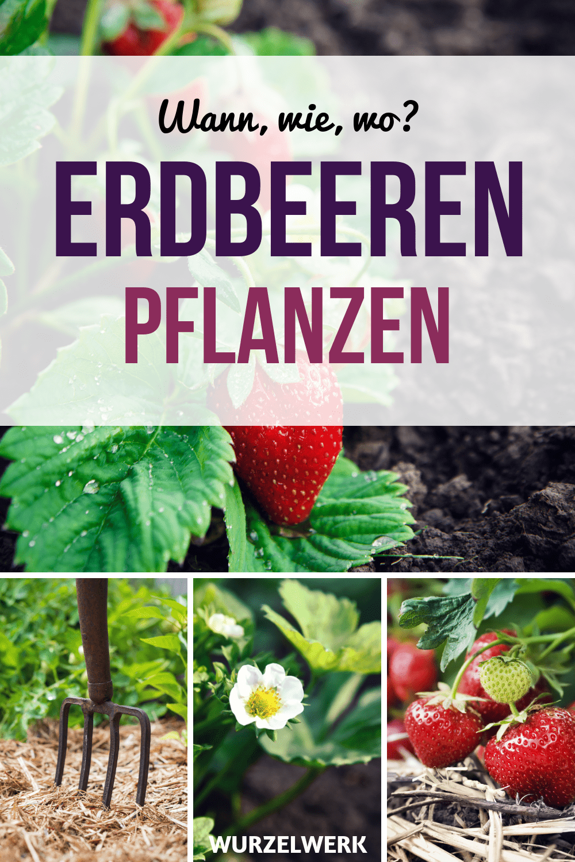 Der komplette Erdbeer-Guide: Erdbeeren pflanzen, anbauen und ernten! Hier kommt kurz und bündig alles, was du wissen musst, wenn du Erdbeeren in deinem Garten, im Hochbeet oder im Topf auf dem Balkon pflanzen, anbauen und pflegen möchtest, mit Ideen für einen Erdbeer-Turm und vertikales Gärtnern auf dem Balkon. #Garten #Wurzelwerk #Naschbalkon