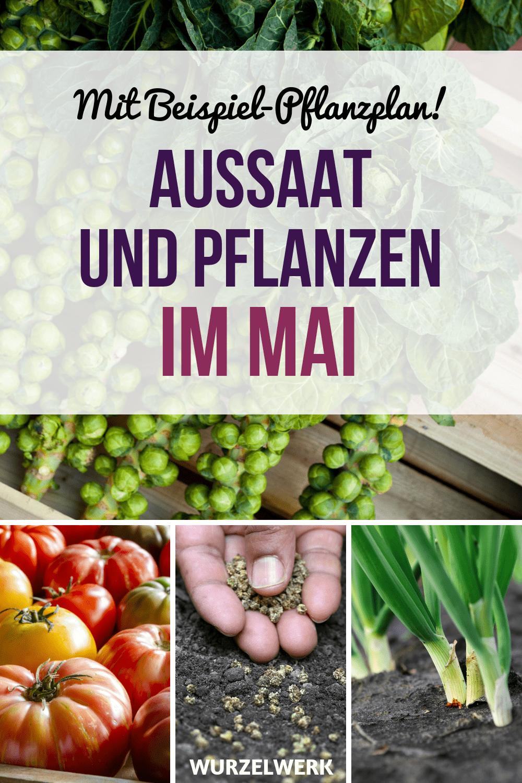 Aussaat und Pflanzen im Mai + Beispiel-Pflanzplan! Du fragst dich, was du im Mai in deinem Gemüsegarten anpflanzen kannst? Hier kommt ein Aussaatkalender für alle Schrebergärtner, Hochbeet-Gärtner und Gartenfreunde da draußen. :) #Garten #Wurzelwek #Hochbeet