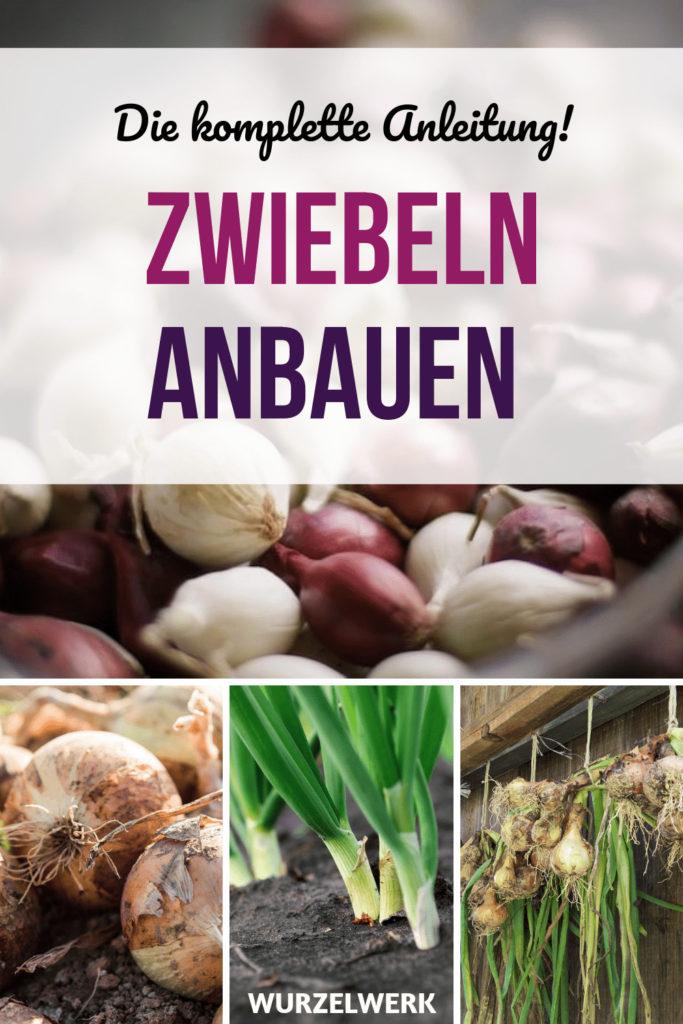 Zwiebeln pflanzen und anbauen