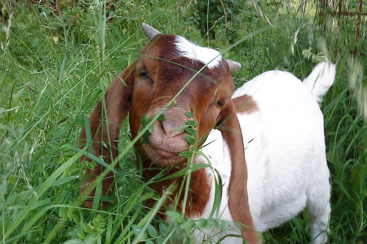 Selbstversorger-Garten mit Ziegen