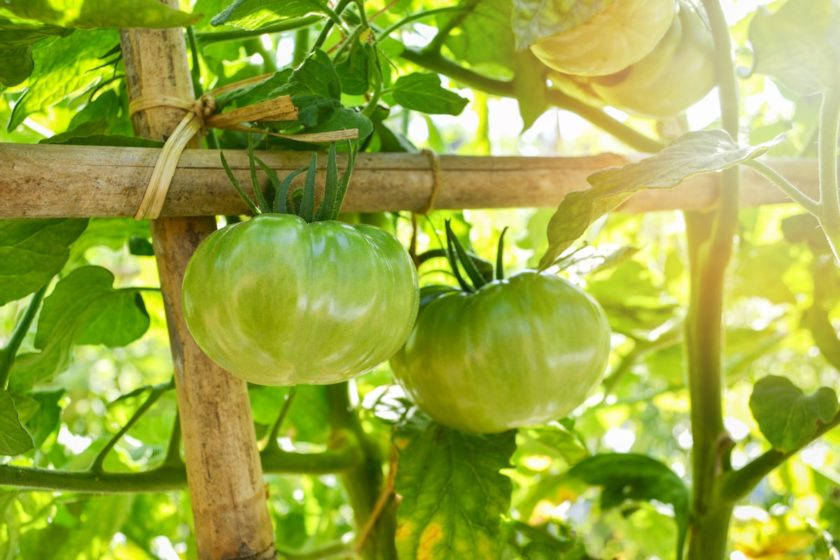Gemüsegarten im August