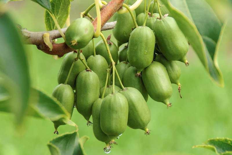 Kiwi pflanzen, anbauen und ernten