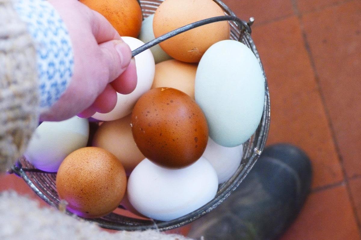 Hühnerrassen bunte Eier
