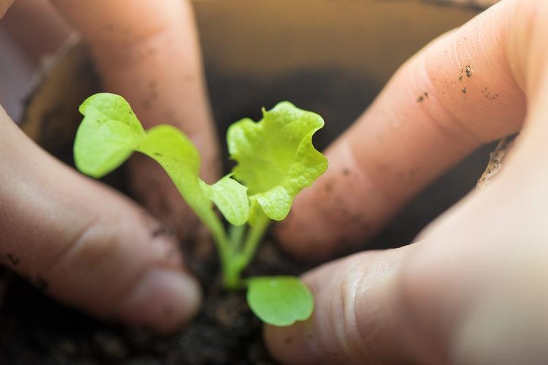 Salat pflanzen und anbauen