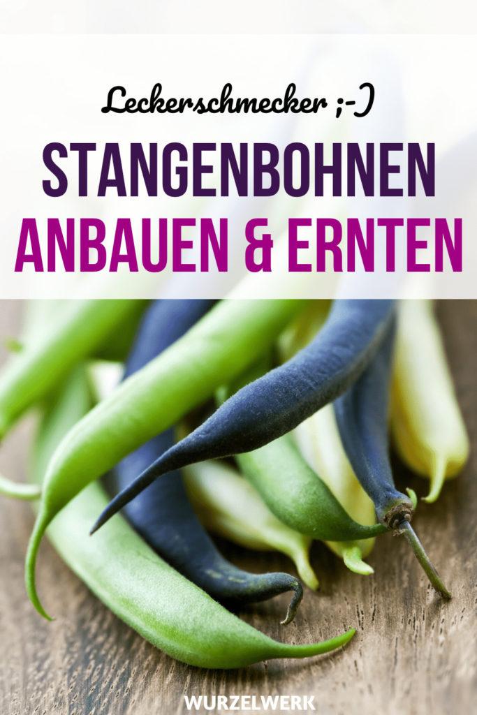 Stangenbohnen anbauen