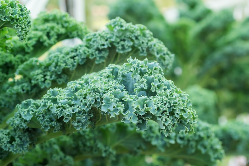 Grünkohl pflanzen, anbauen und ernten
