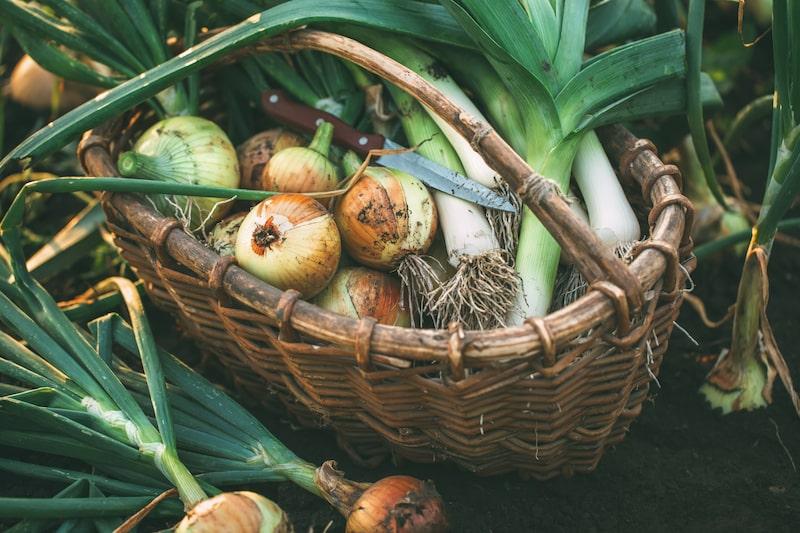 Porree pflanzen anbauen