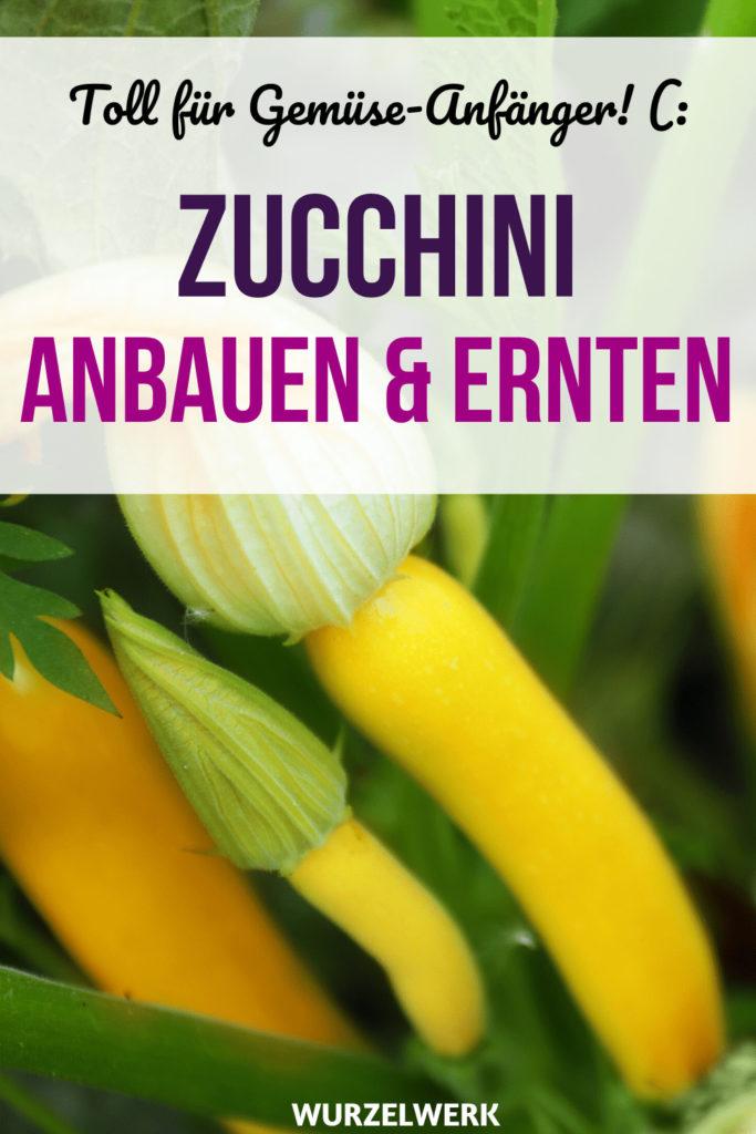 Zucchini pflanzen und anbauen