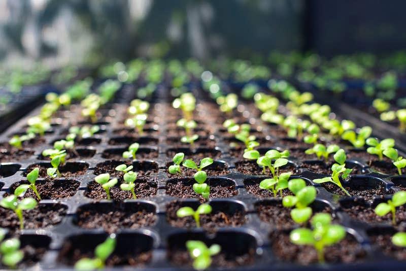Jungpflanzen-Anzucht vorziehen anziehen Fensterbank