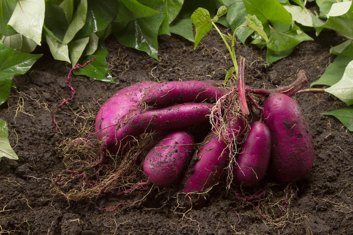 Süßartoffeln anbauen und pflanzen