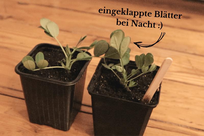 Erdnuss-Pflanzen selber ziehen
