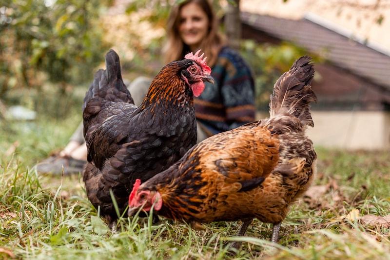 Selbstversorgung aus dem Garten Hühner