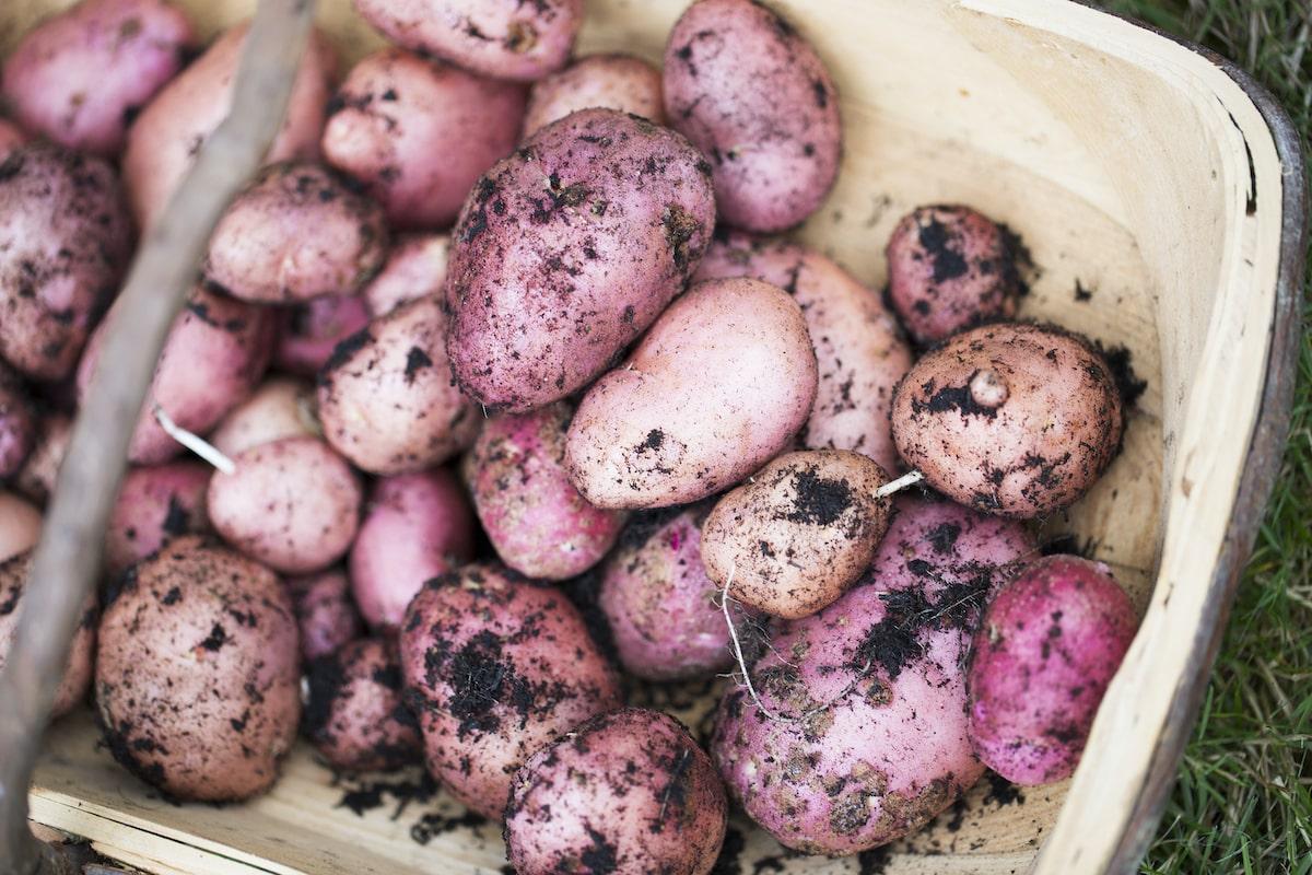 Kartoffeln pflanzen anbauen ernten
