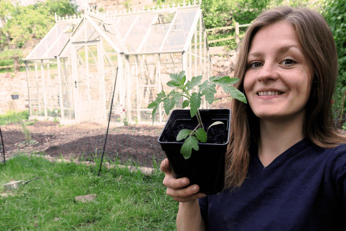 Tomaten pflanzen im Gewächshaus und Freiland