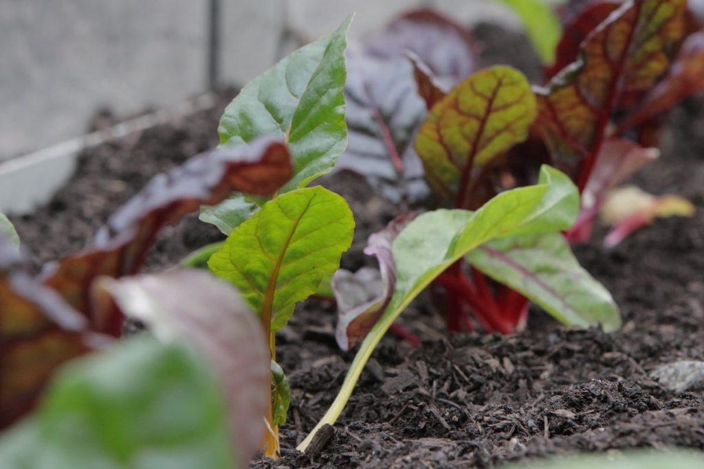 selbstversorgergarten gemüse anbauen mangold