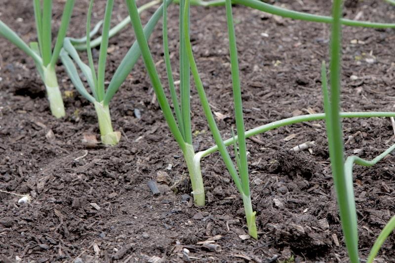 selbstversorgergarten gemüse anbauen
