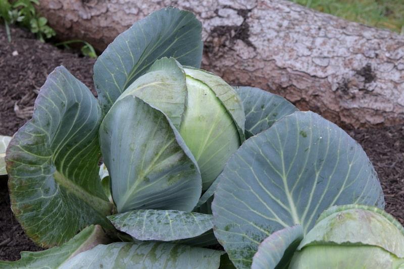 selbstversorgergarten gemüse anbauen kohl