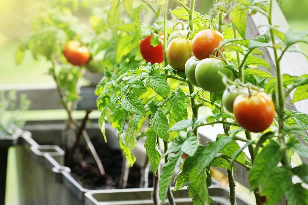 Tomaten im Topf Balkon