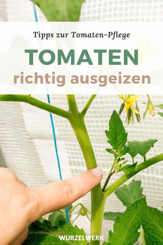 Tomaten ausgeizen Pin