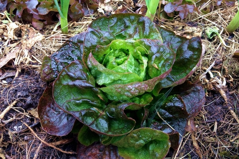 Baquieu Gemüse anbauen Winter