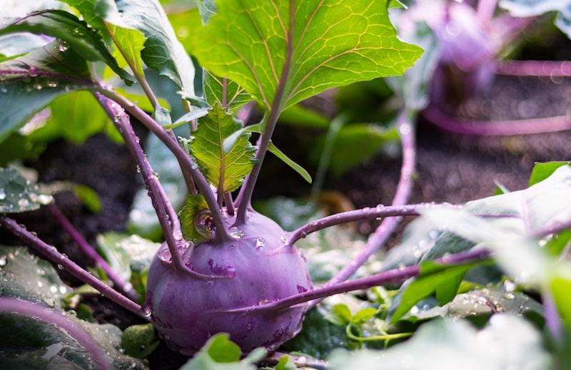 Kohlrabi Gemüse anbauen Winter