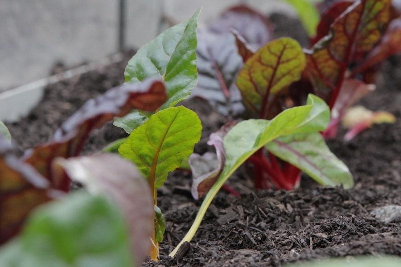 Mangold Gemüse anbauen Winter