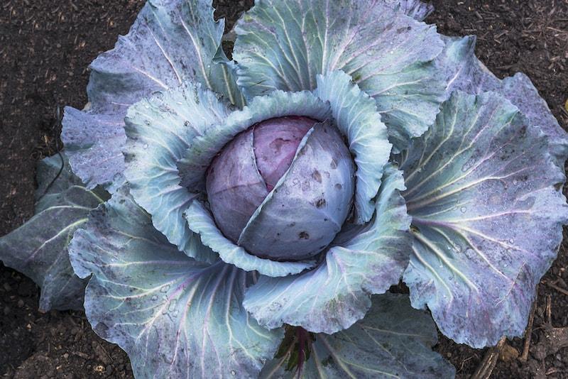Rotkohl Gemüse im Winter