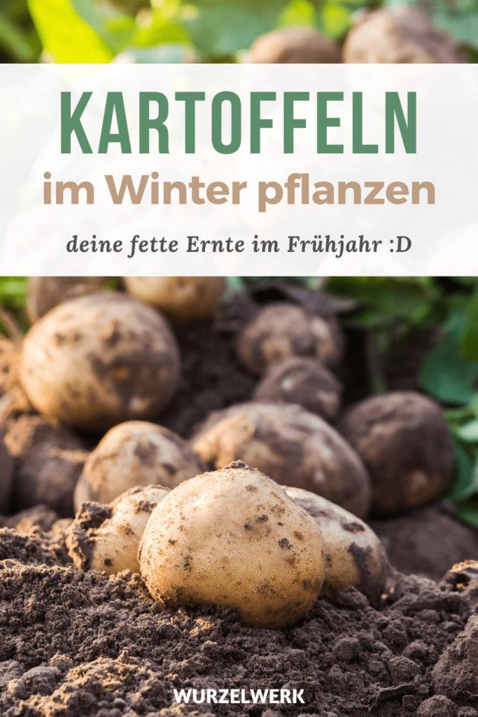 Kartoffeln im Winter anbauen