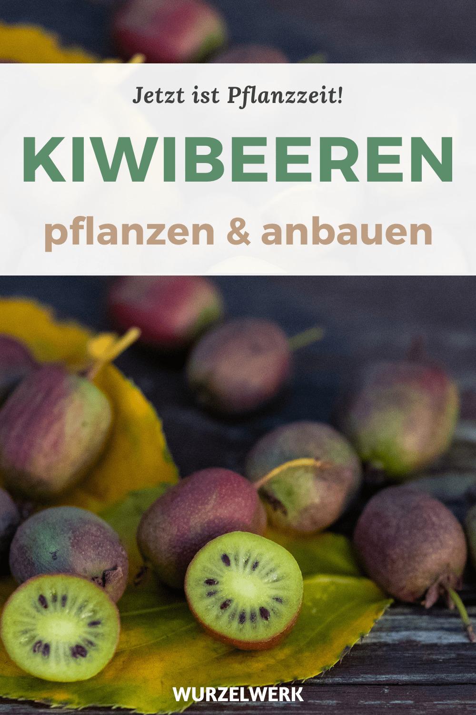 Kiwibeeren pflanzen