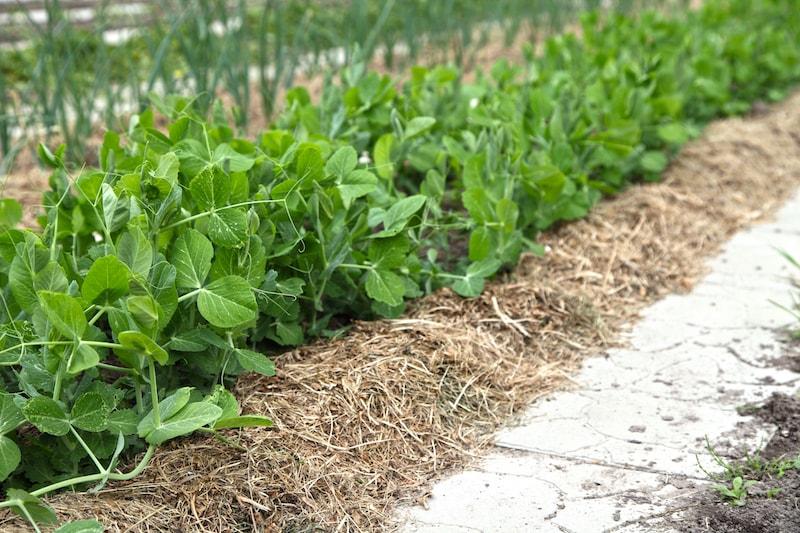 Gemüse-Pflanzen